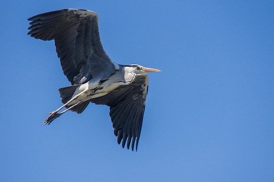 big-heron