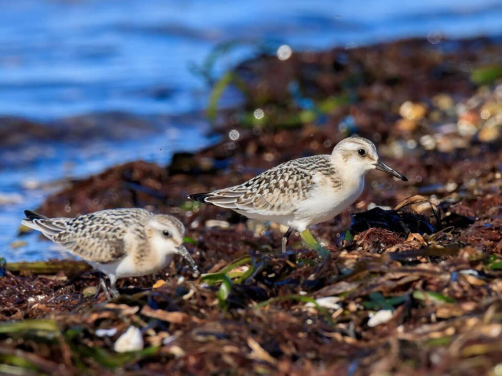 two shore birds in teh seaweed at Blackie Spit Surrey BC